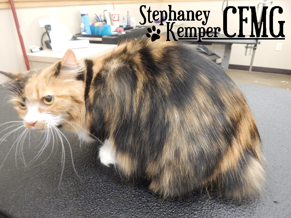 Calico long haired cat grooming by Stephaney Kemper, CFMG