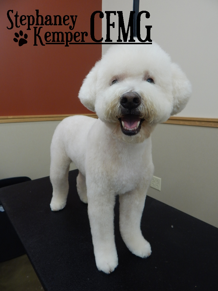 Poodle mix in a teddy trim, grooming by Stephaney Kemper, CFMG