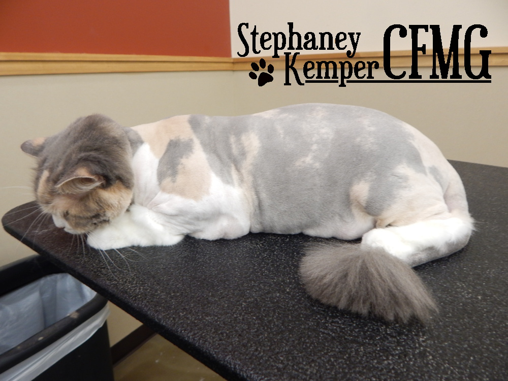 Dilute calico cat in a lion cut, grooming by Stephaney Kemper, CFMG