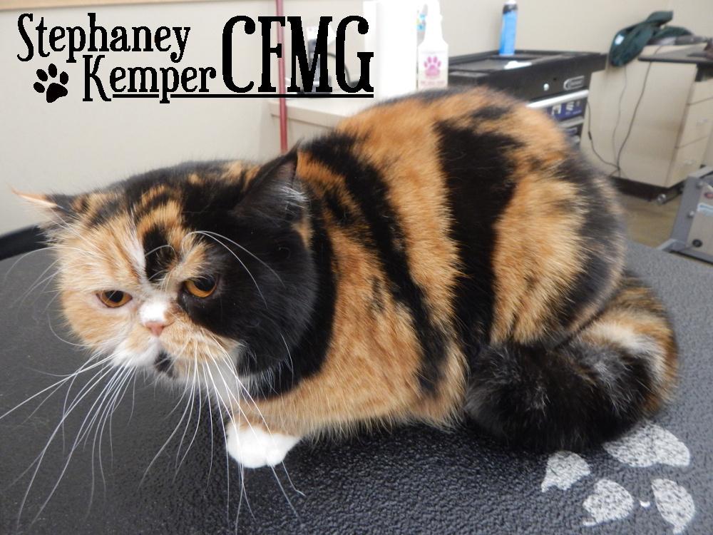 Exotic Shorthair cat grooming by Stephaney Kemper, CFMG