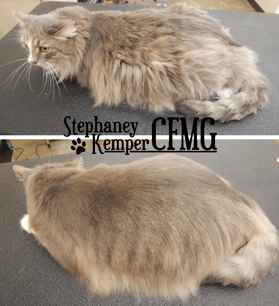 Long haired cat grooming by Stephaney Kemper, CFMG