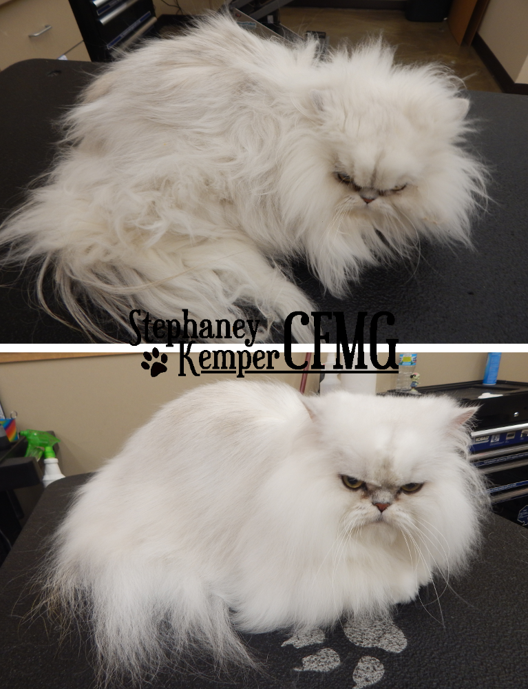 Persian cat grooming by Stephaney Kemper, CFMG
