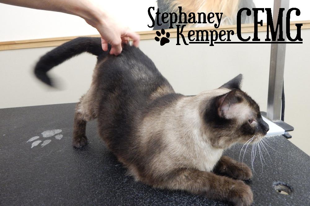 Siamese cat grooming by Stephaney Kemper, CFMG