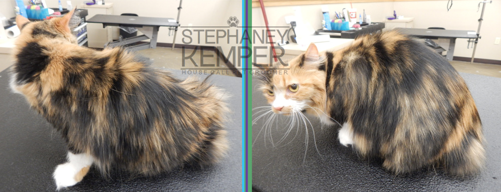 st-louis-cat-groomer-stephaney-kemper-cat-grooming