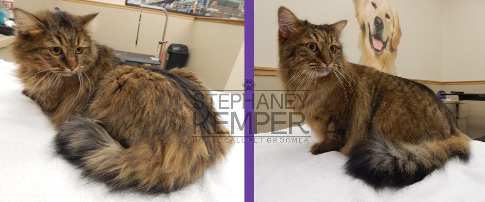 st-louis-cat-groomer-stephaney-kemper-longhaired-cat-grooming