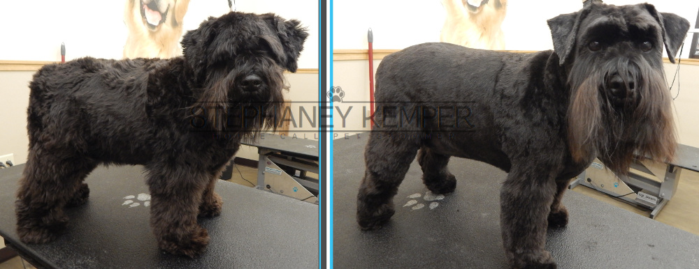 st-louis-cat-groomer-stephaney-kemper-miniature-schnauzer-grooming