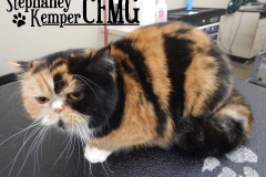 Exotic Shorthair cat grooming by Stephaney Kemper, CFMG