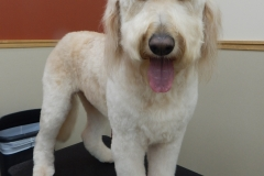 Goldendoodle grooming by Stephaney Kemper, CFMG