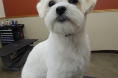 Havanese grooming by Stephaney Kemper, CFMG