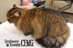 Long haired cat grooming by Stephaney Kemper, CFMG