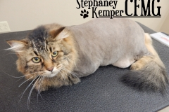 Maine Coon cat grooming by Stephaney Kemper, CFMG