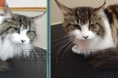 st-louis-cat-groomer-maine-coon-grooming