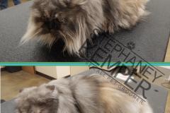 st-louis-cat-groomer-persian-grooming