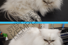st-louis-cat-groomer-persian-grooming-2