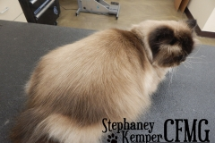 Himalayan cat grooming by Stephaney Kemper, CFMG