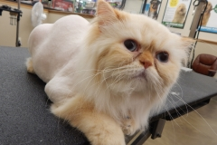 Persian cat grooming by Stephaney Kemper, CFMG