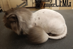 Persian cat in a lion cut, grooming by Stephaney Kemper, CFMG