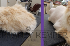 st-louis-cat-groomer-stephaney-kemper-himalayan-lion-cut-grooming