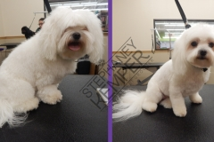 st-louis-cat-groomer-stephaney-kemper-maltese-grooming