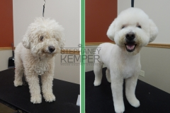 st-louis-cat-groomer-stephaney-kemper-miniature-poodle-grooming