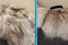 st-louis-cat-groomer-stephaney-kemper-ragdoll-grooming-2