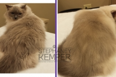 st-louis-cat-groomer-stephaney-kemper-ragdoll-grooming