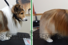 st-louis-cat-groomer-stephaney-kemper-shetland-sheepdog-grooming