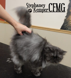 Stephaney Kemper, Certified Feline Master Groomer, grooming a fluffy Persian cat