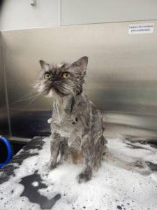 st-louis-cat-groomer-persian-bath-2