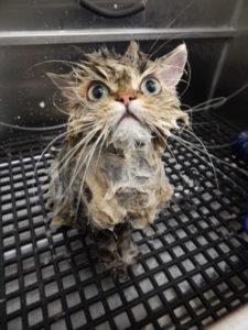 st-louis-cat-groomer-persian-bath