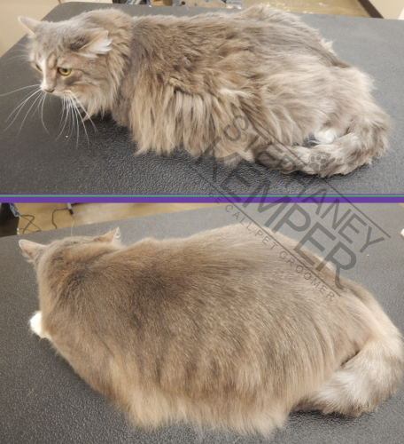 st-louis-cat-groomer-longhaired-cat-grooming