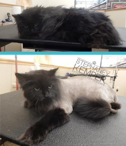 st-louis-cat-groomer-longhaired-cat-lion-cut-haircut