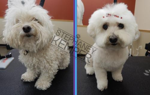st-louis-cat-groomer-stephaney-kemper-bichon-frise-grooming