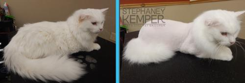 st-louis-cat-groomer-stephaney-kemper-cat-lion-cut-grooming-3
