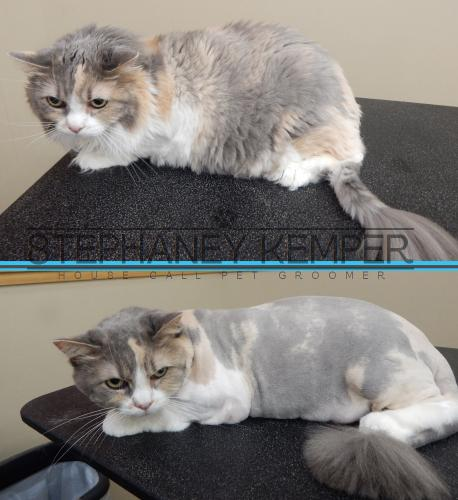 st-louis-cat-groomer-stephaney-kemper-cat-lion-cut-grooming
