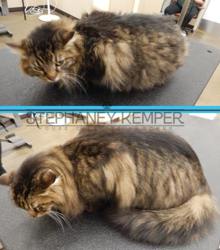 st-louis-cat-groomer-stephaney-kemper-maine-coon-grooming