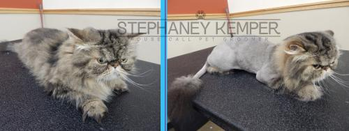 st-louis-cat-groomer-stephaney-kemper-persian-lion-cut-grooming